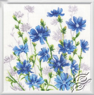Chicory Blossoms
